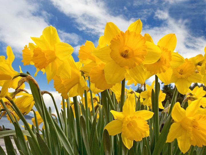2019 Delmarva Daffodils Campaign