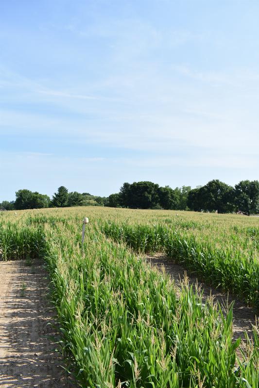 Find the Wine! Corn Maze Wine Walk