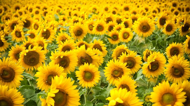 Sunflower Festival at Ramseyer Farms