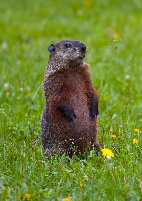 Kids Discover: Groundhogs