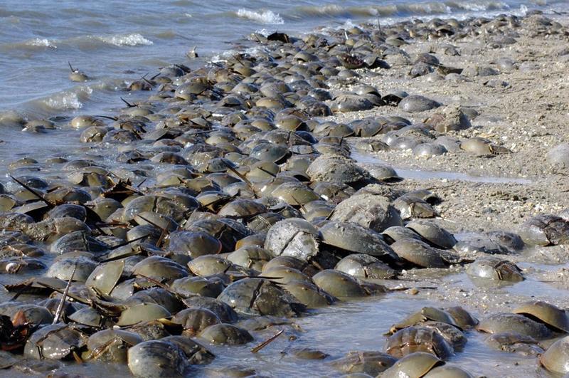 Horseshoe Crabs: Keystone to Shorebird Migration and Survival