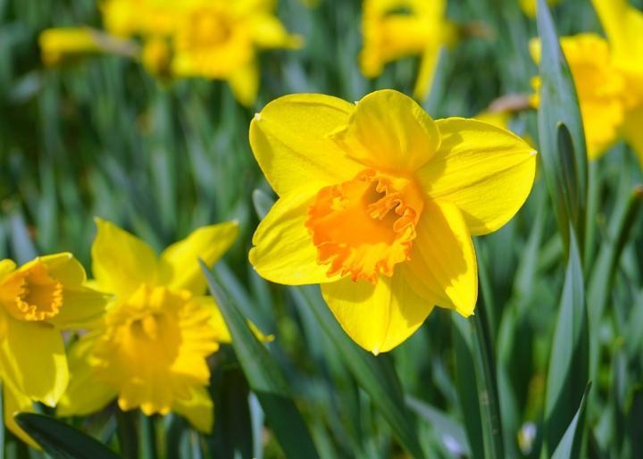 ACS Berks, Lehigh, Northampton Daffodil Days