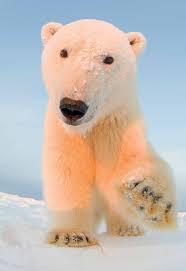Polar Bear Club - Polar Bear Playread (Actives/CT 6th and up)