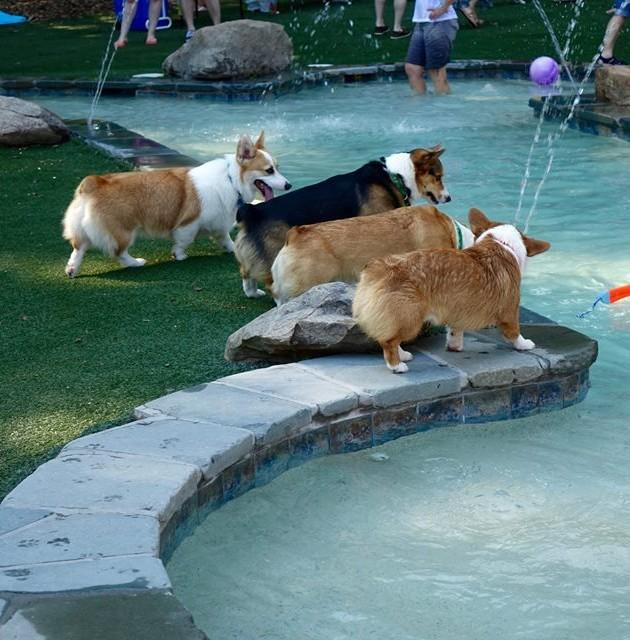 2nd Annual Corgi Pool Pawty and Yappy Hour