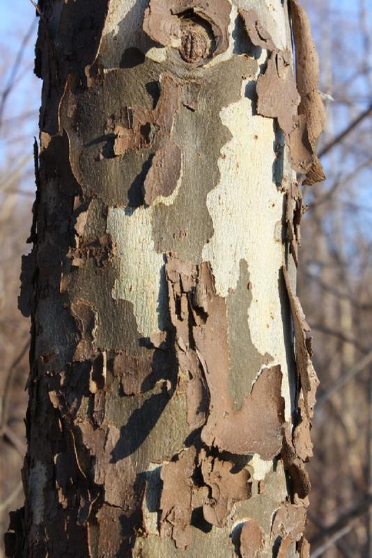 Tree Identification Walk