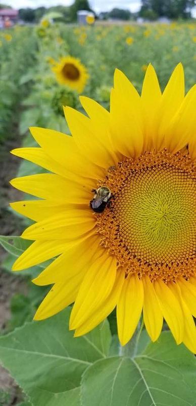Zilke Sunflower Festival Weekday Ticket