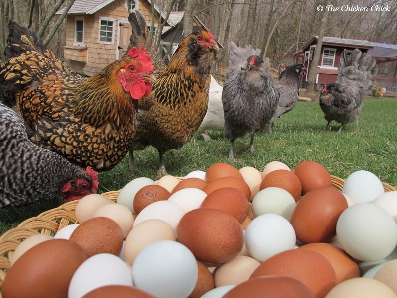Skillshare Series: Backyard Chicken Raising